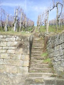 Vineyard at Esslingen, Germany